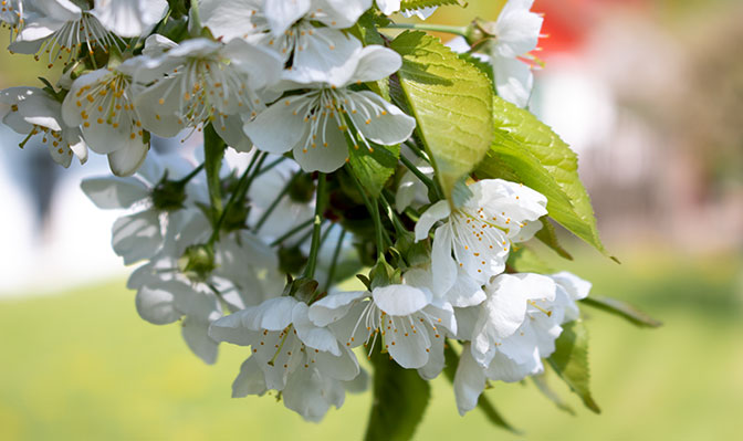 Blühende Apfelblüten