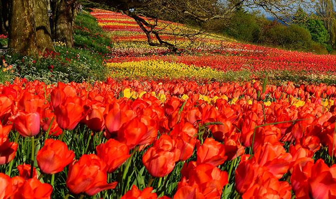 Tulpen Insel Mainau