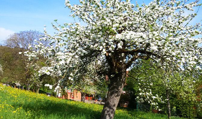 Blühende Apfelbäume im Sommer