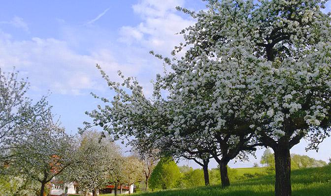 Blühende Apfelbäume hinter dem Risthof