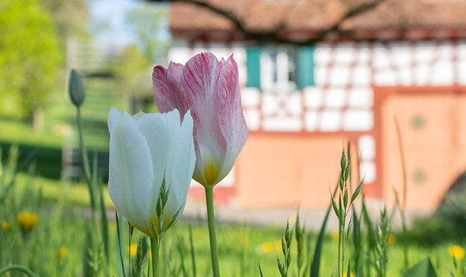 Blühende Tulpen vor dem Risthof